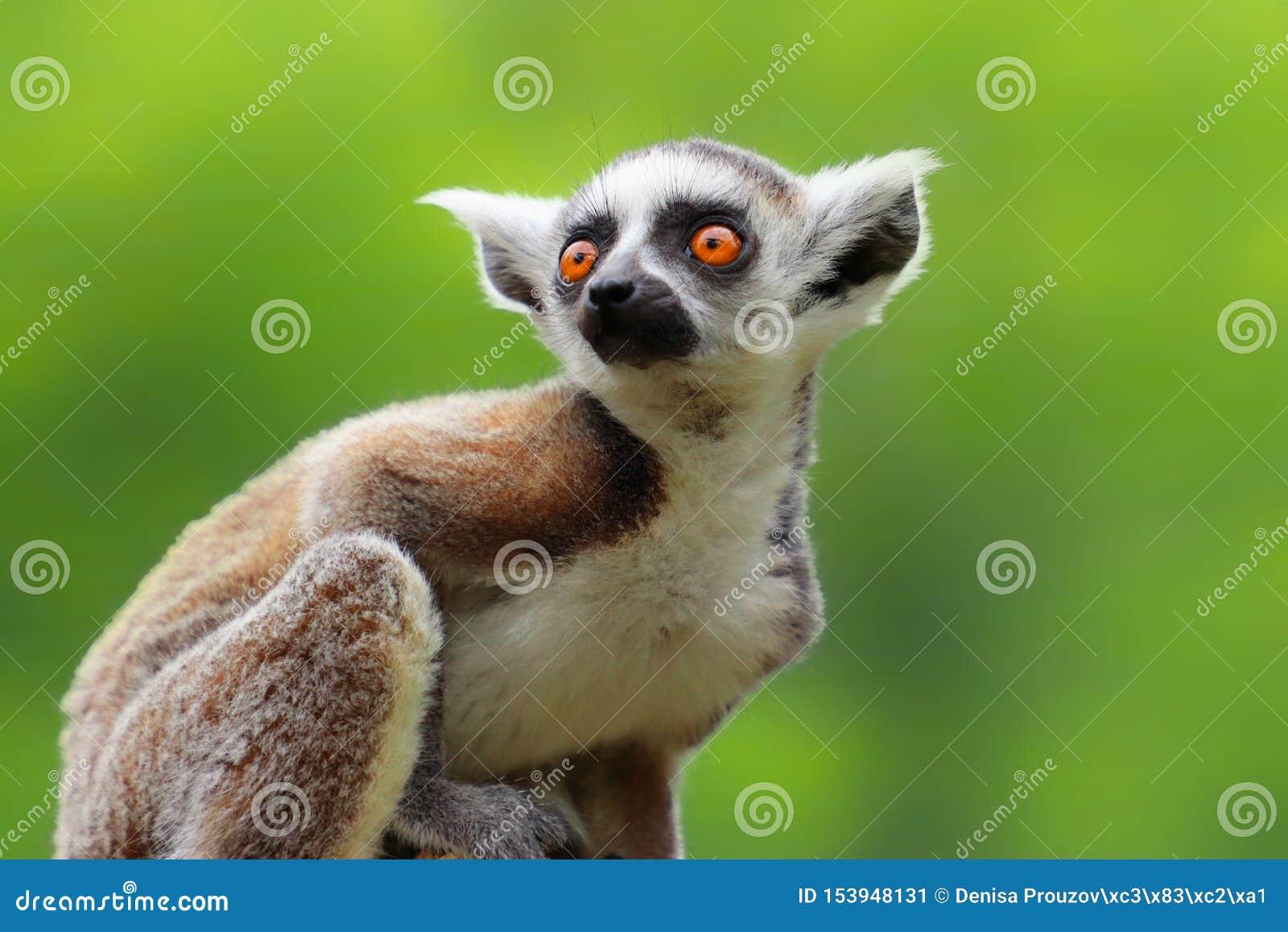 Lemur ring-tailed de ch?ri