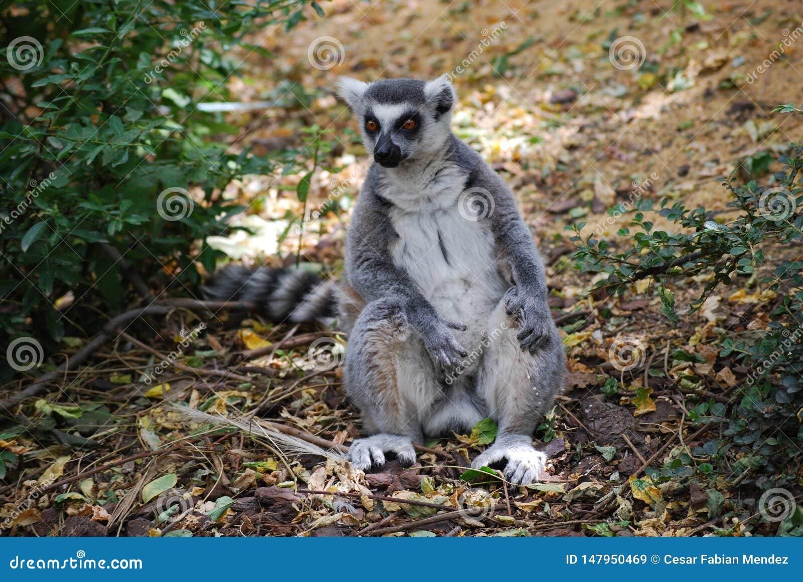Lemur Ring-tailed
