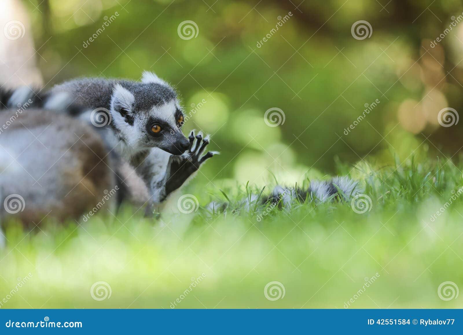 Lemur Ring-tailed (Lemur Catta)