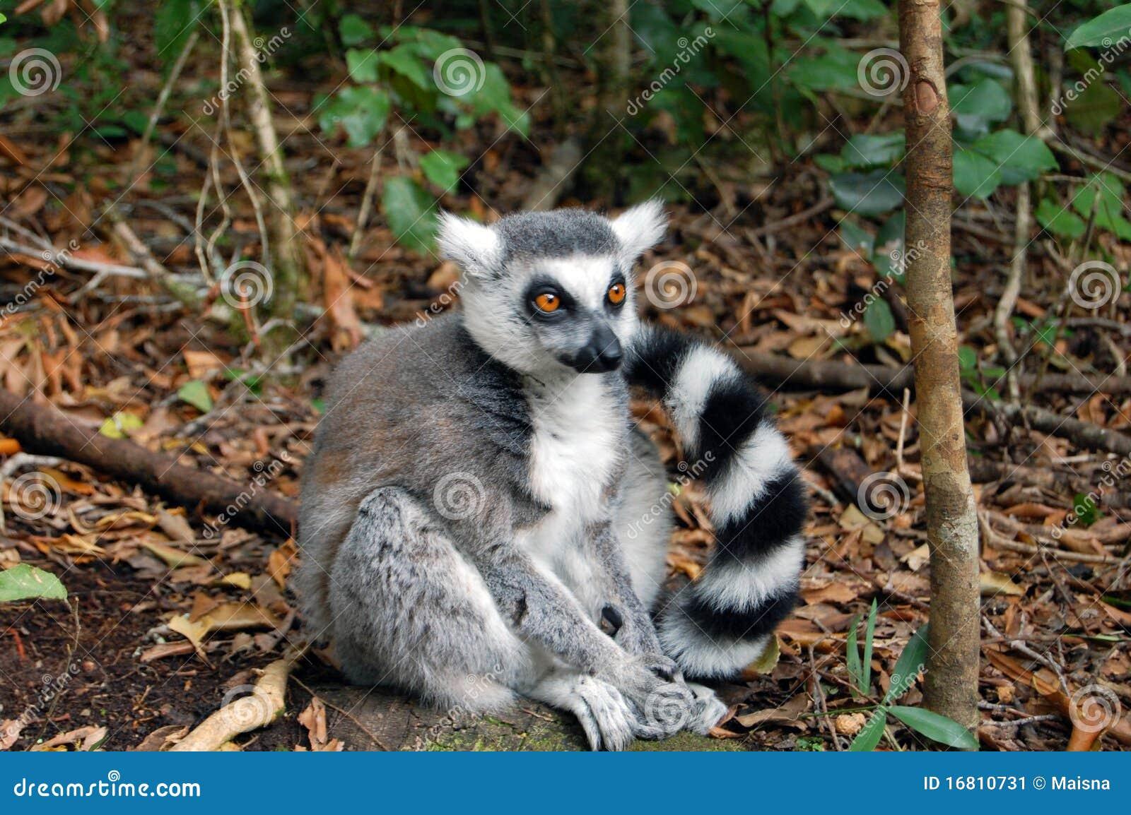 Lemur solitario