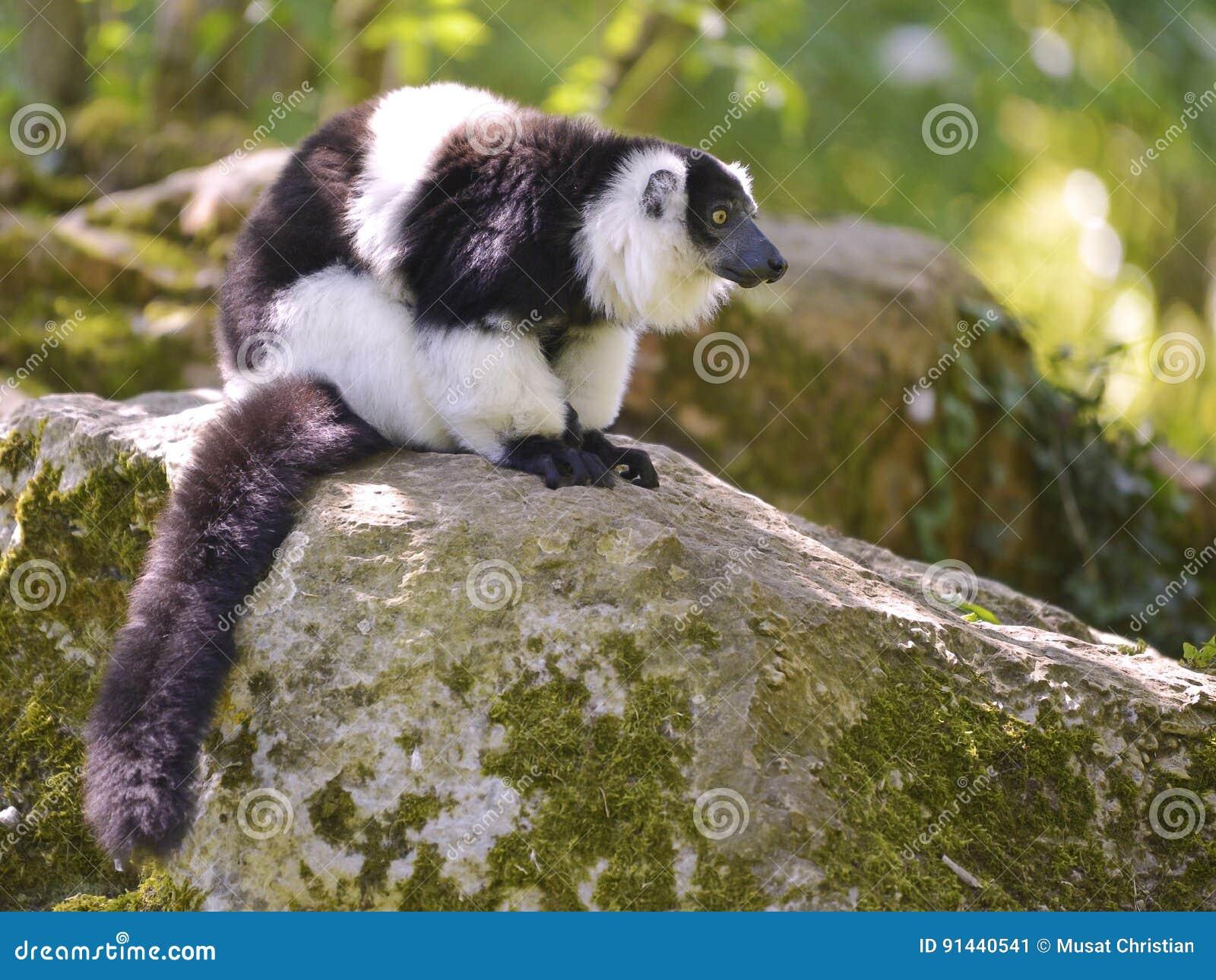 Lemur superado blanco y negro