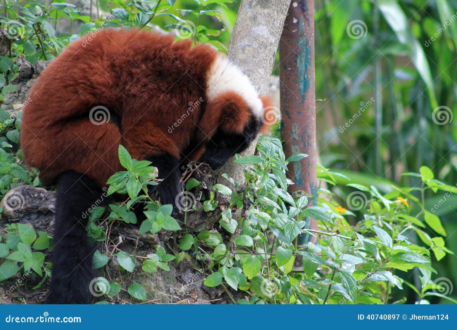 Lemur vermelho