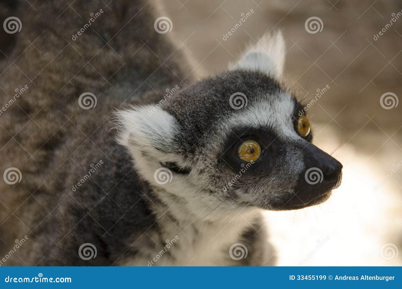 Lemure catta, catta delle lemure