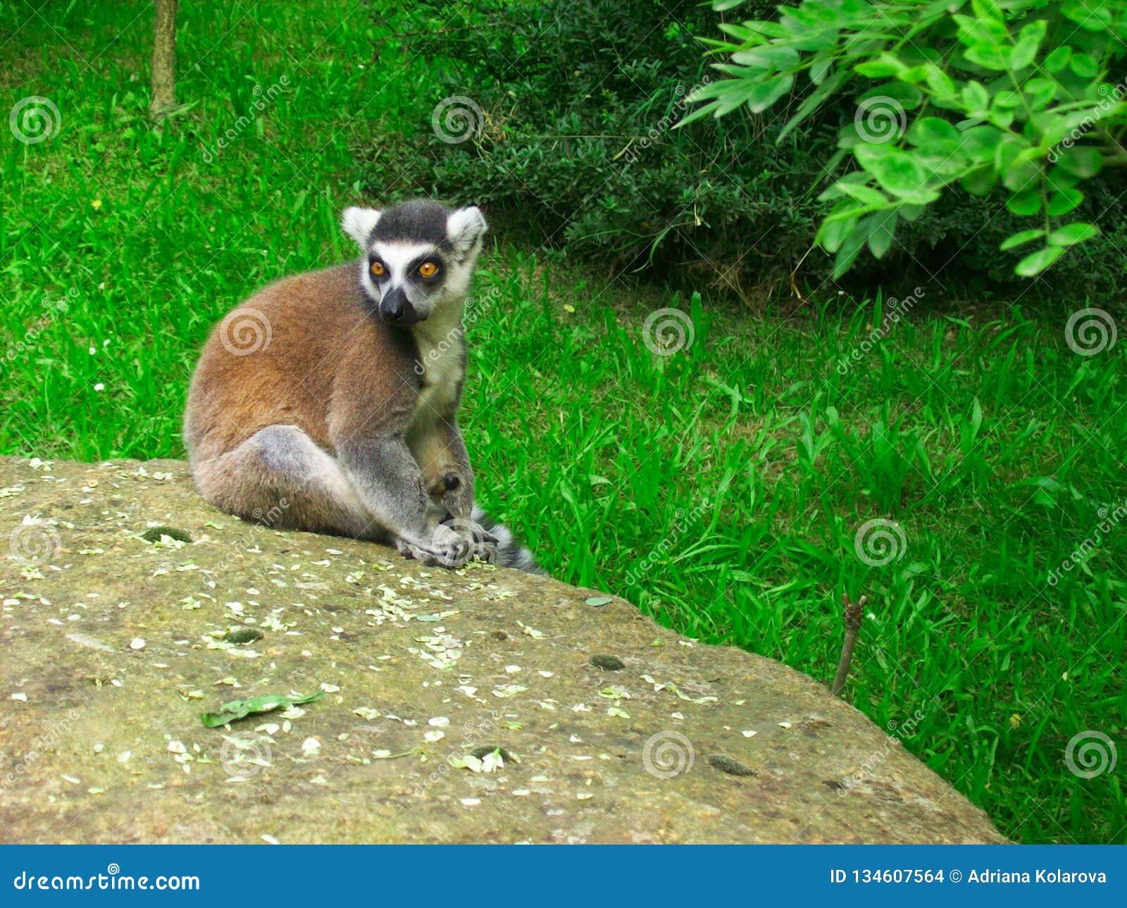 Lemure catta che si siedono sulla pietra