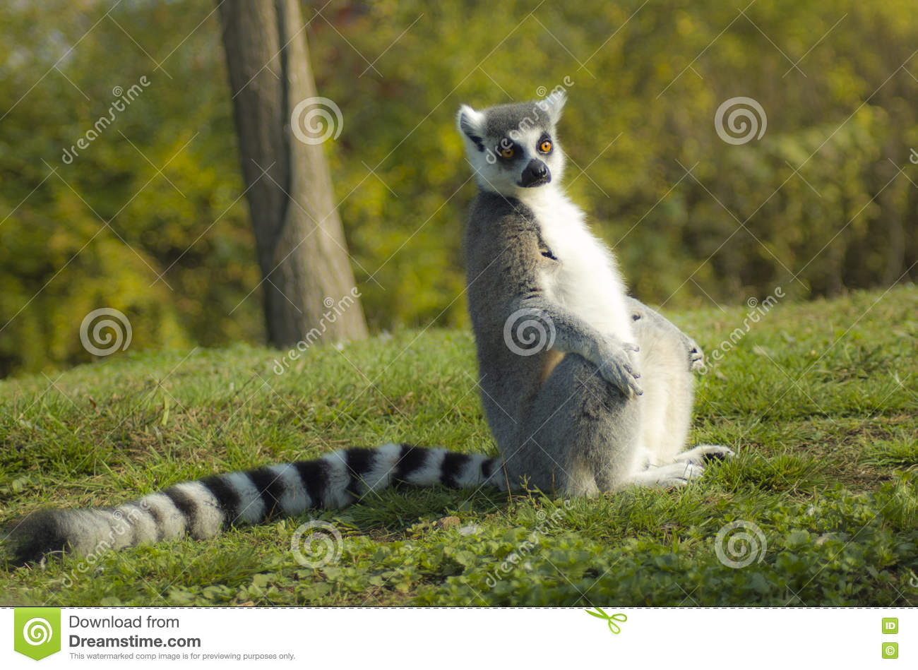 Lemure Dalla Coda Ad Anelli O Lemure Catta O Katta Lemur Catta Stock Photo Image Of Laure Lemur 80170428