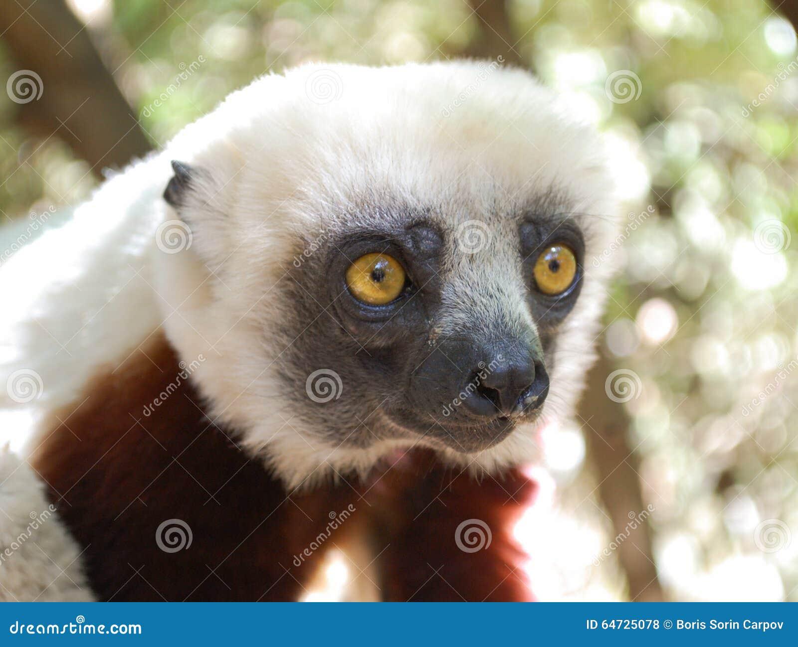 Lemure sveglie Parco nazionale, Madagascar