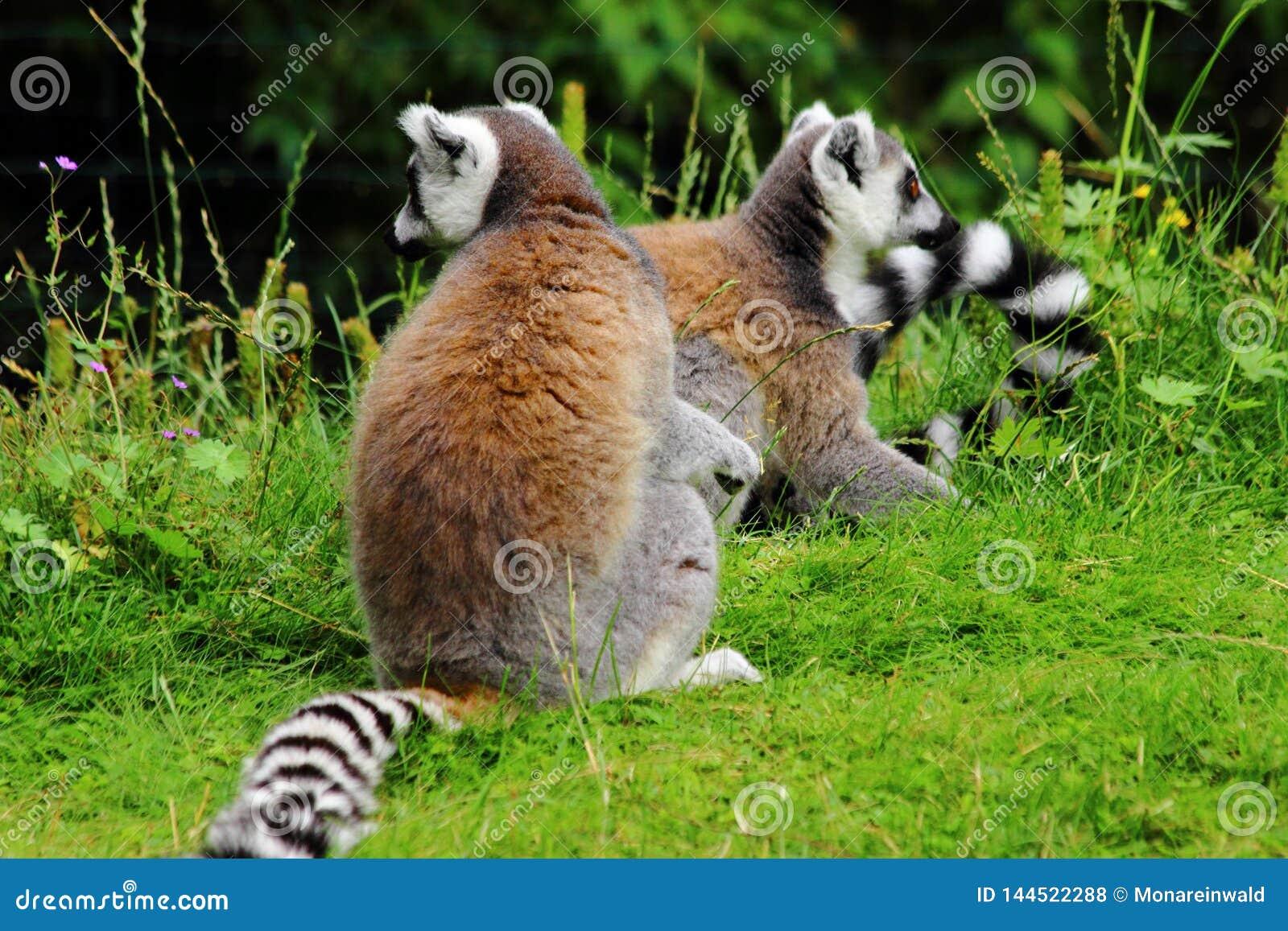Lemures obsiadanie na gras w zoo w Augsburskim w Germany