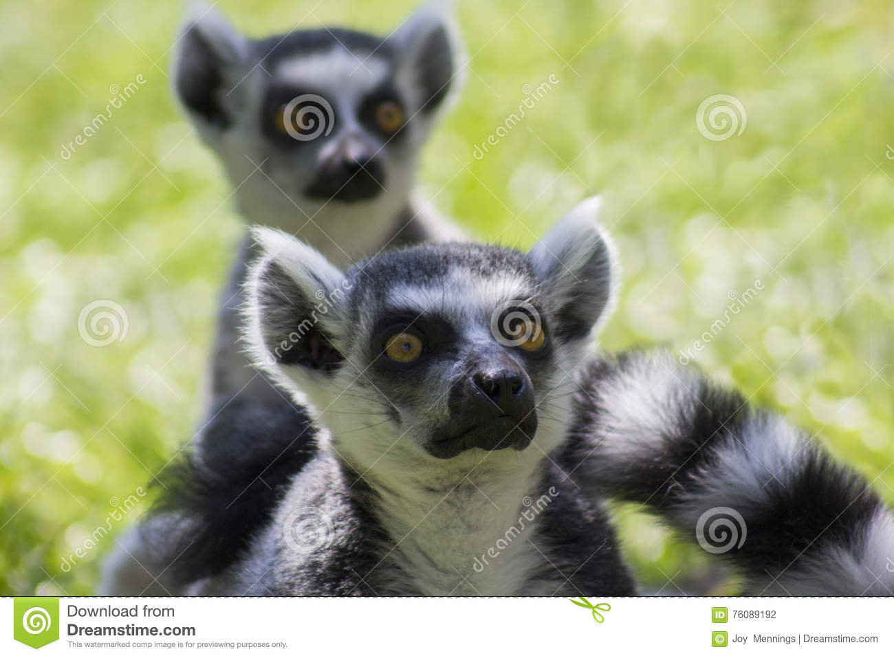 Lemurs Ring-tailed