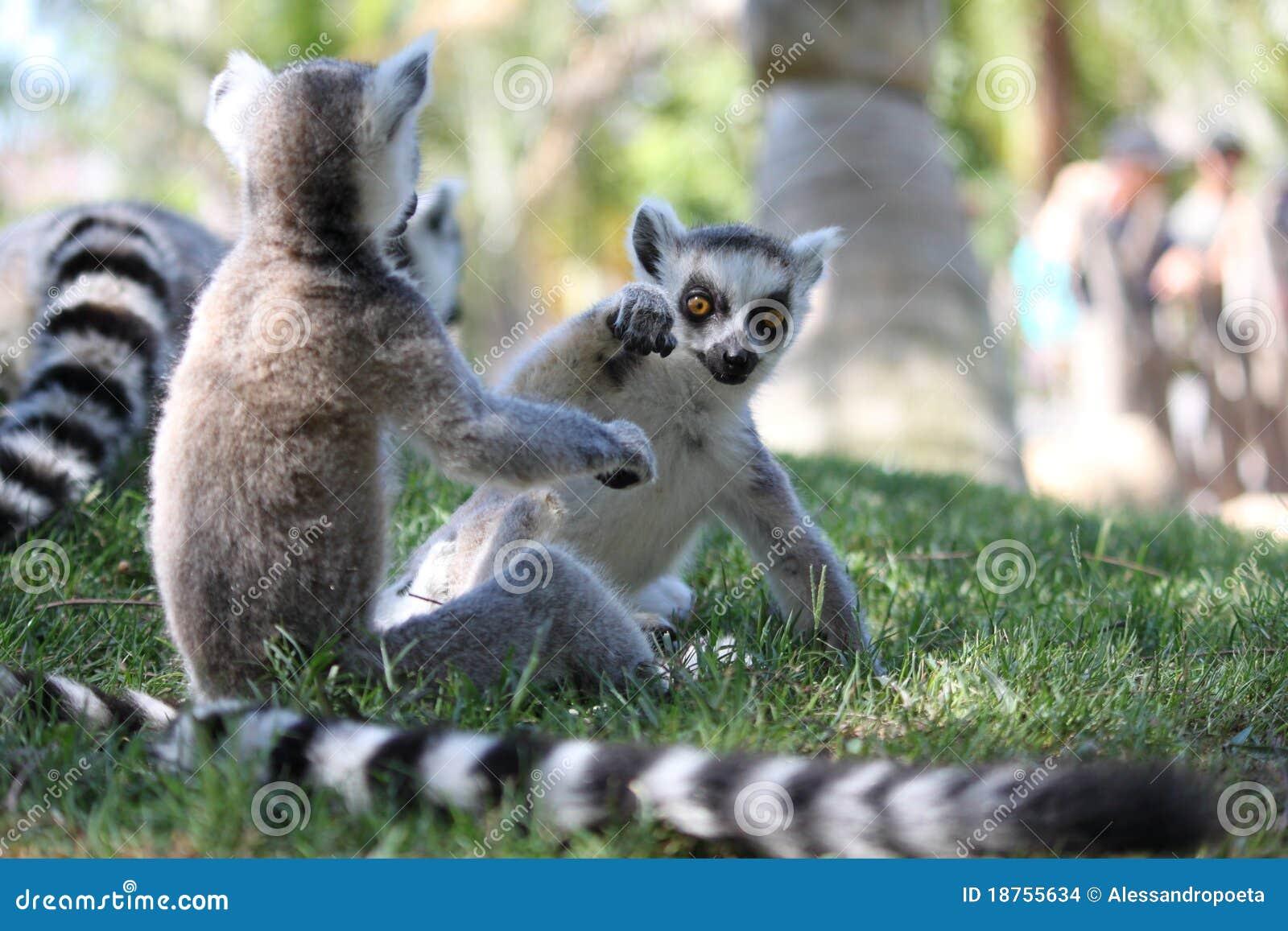 Lemurspelrum