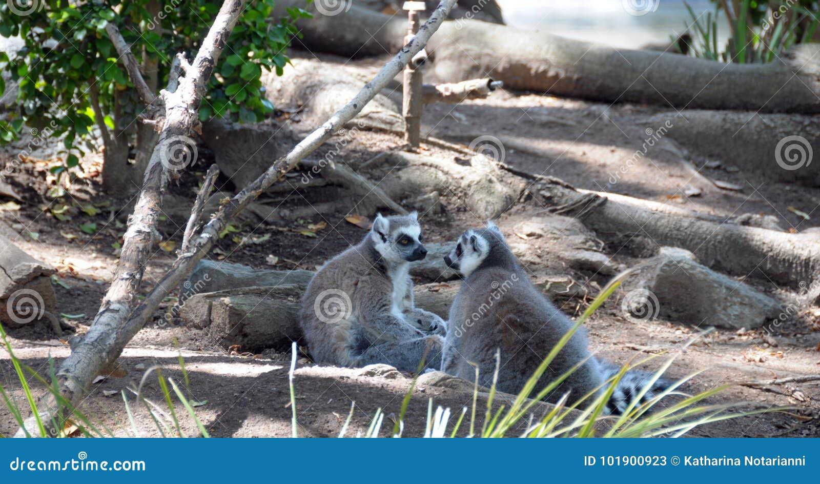Lemury dwa