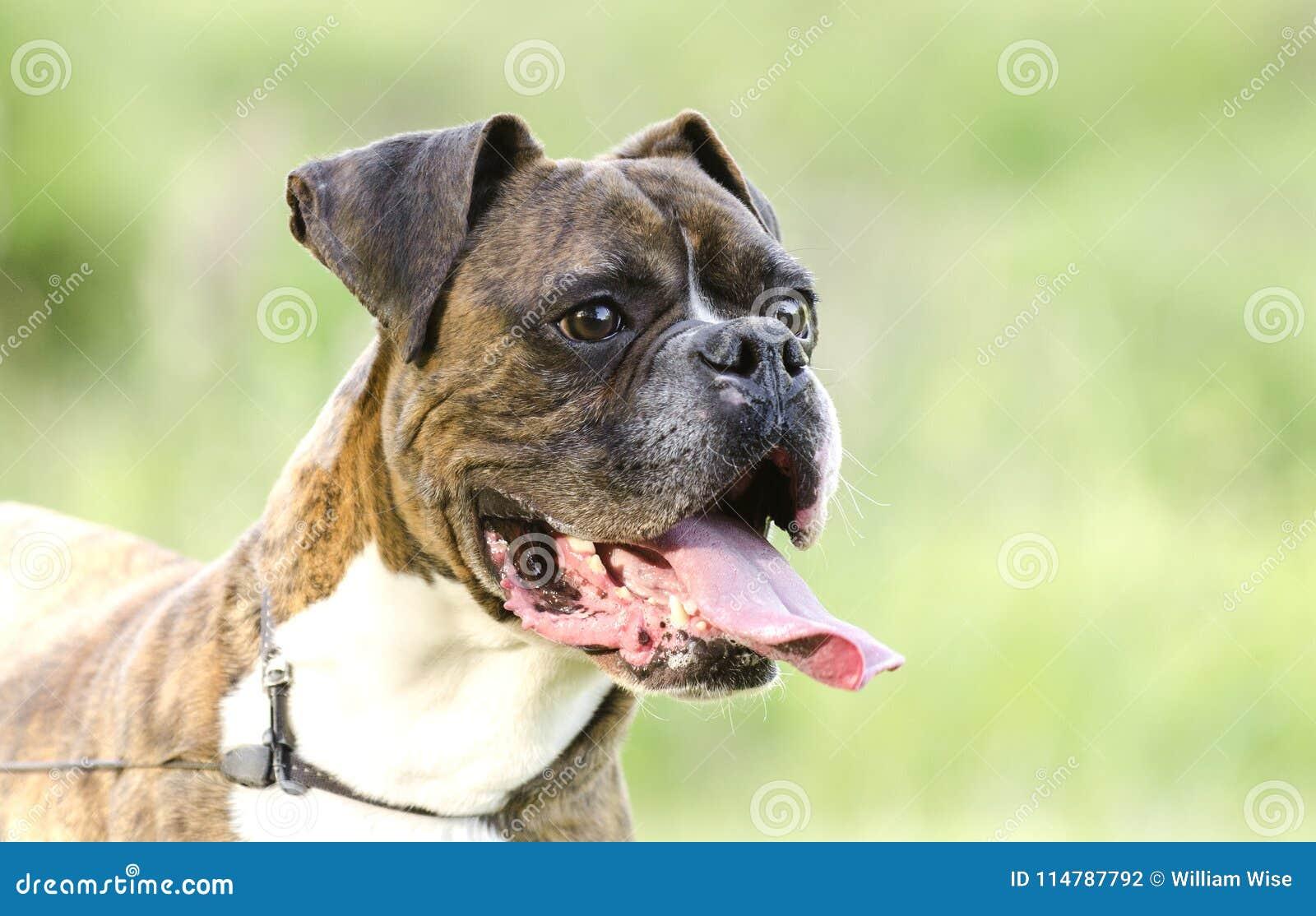Lengua berrenda y blanca del jadeo del perro del boxeador, foto de la adopción del rescate del animal doméstico
