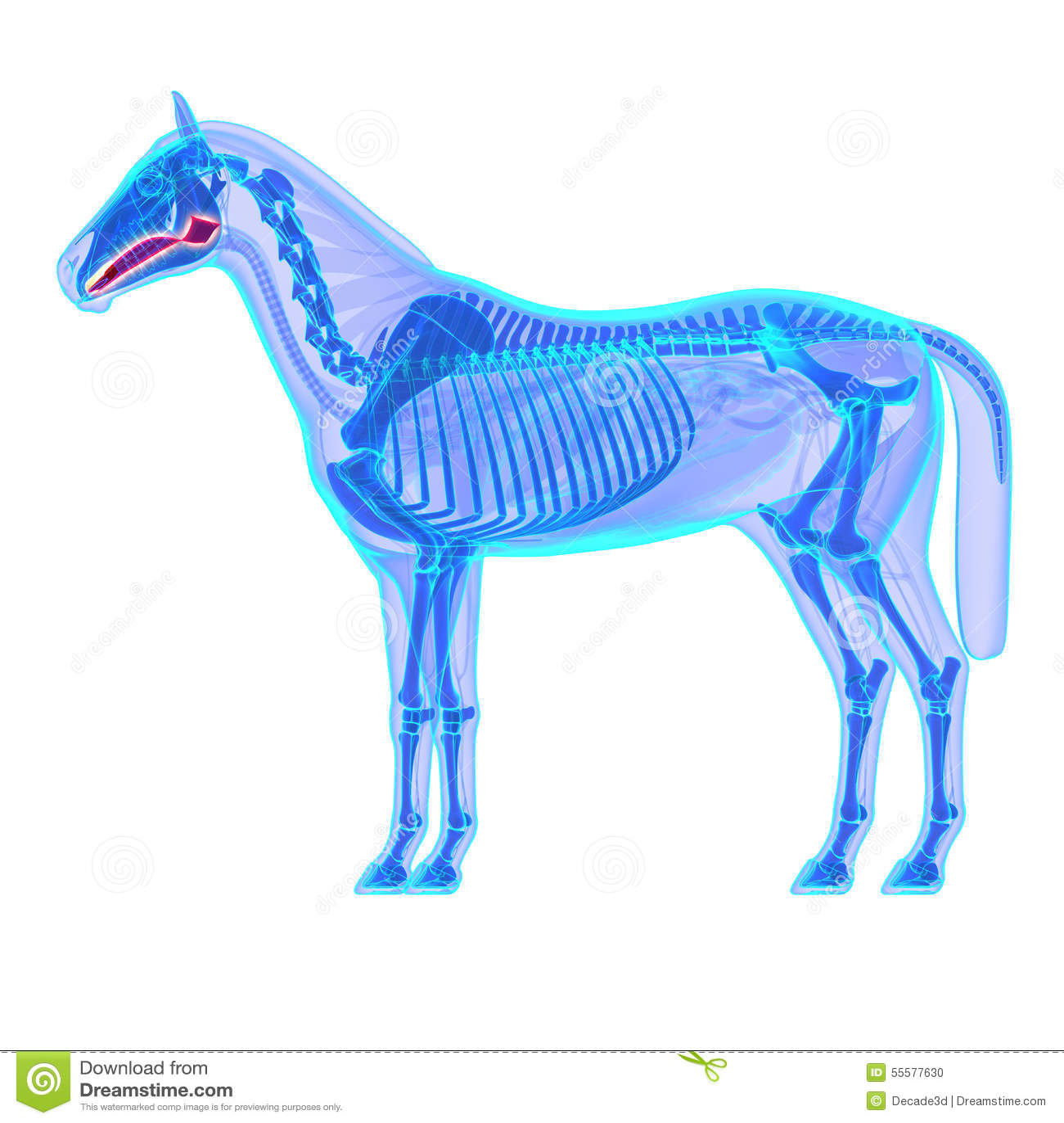 Lengua Del Caballo - Anatomía Del Equus Del Caballo - Aislada En ...