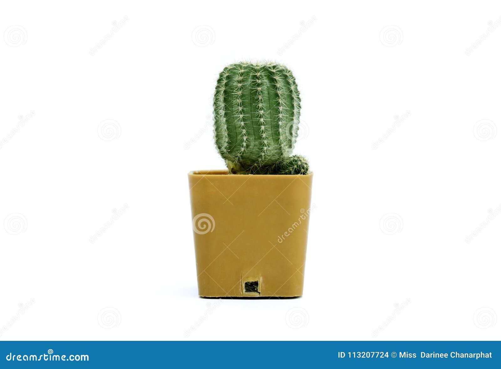 Leninghausii di Eriocactus, un fondo di bianco del cactus
