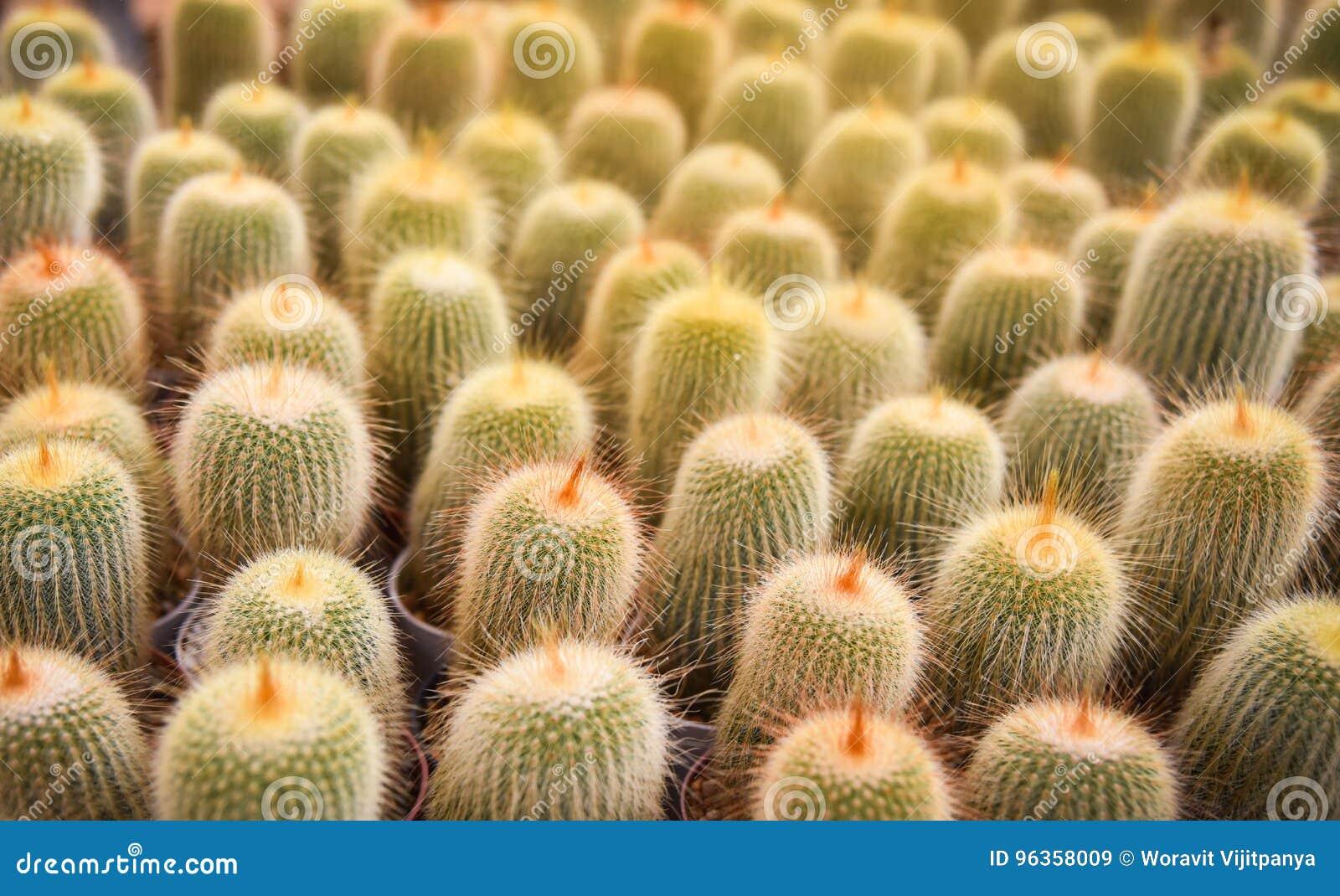 Leninghausii di Notocactus del cactus