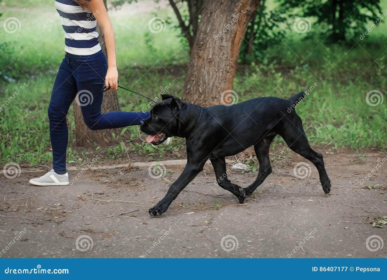 Lenker Mit Einem Hund Cane Corso Italian Mastiff Stockbild - Bild ...