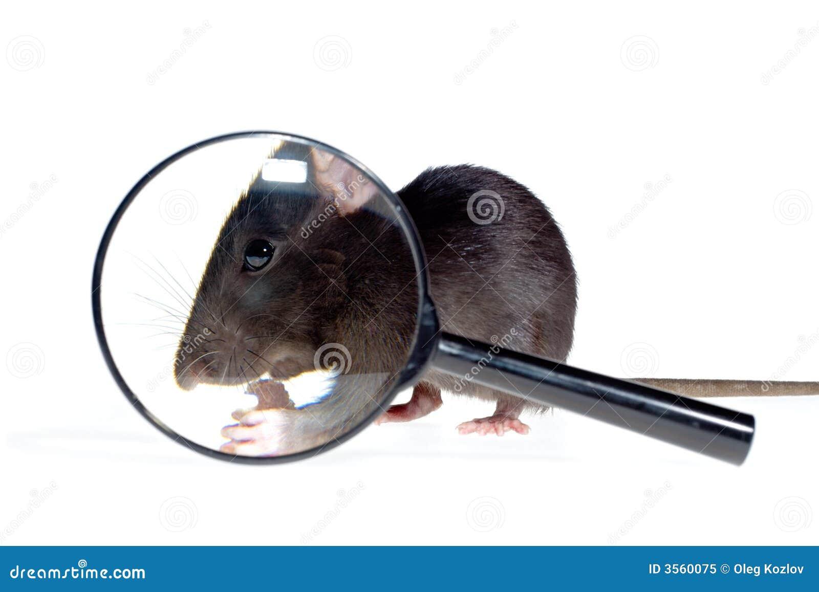 Lente d ingrandimento e ratto