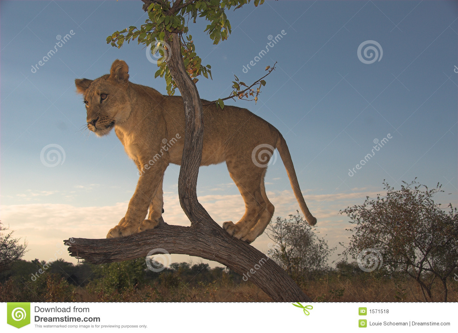 Leo afryce lwa panthera