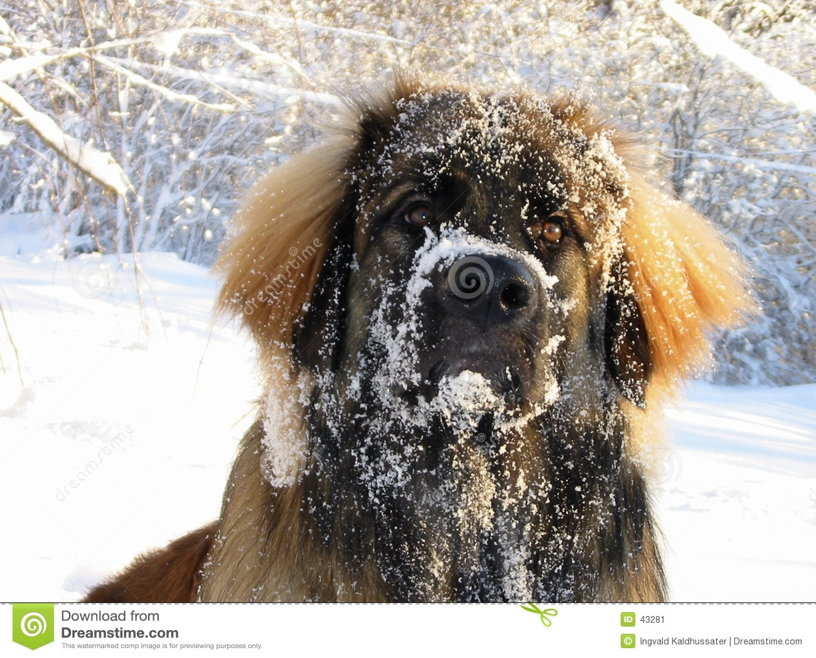 Leo nevado