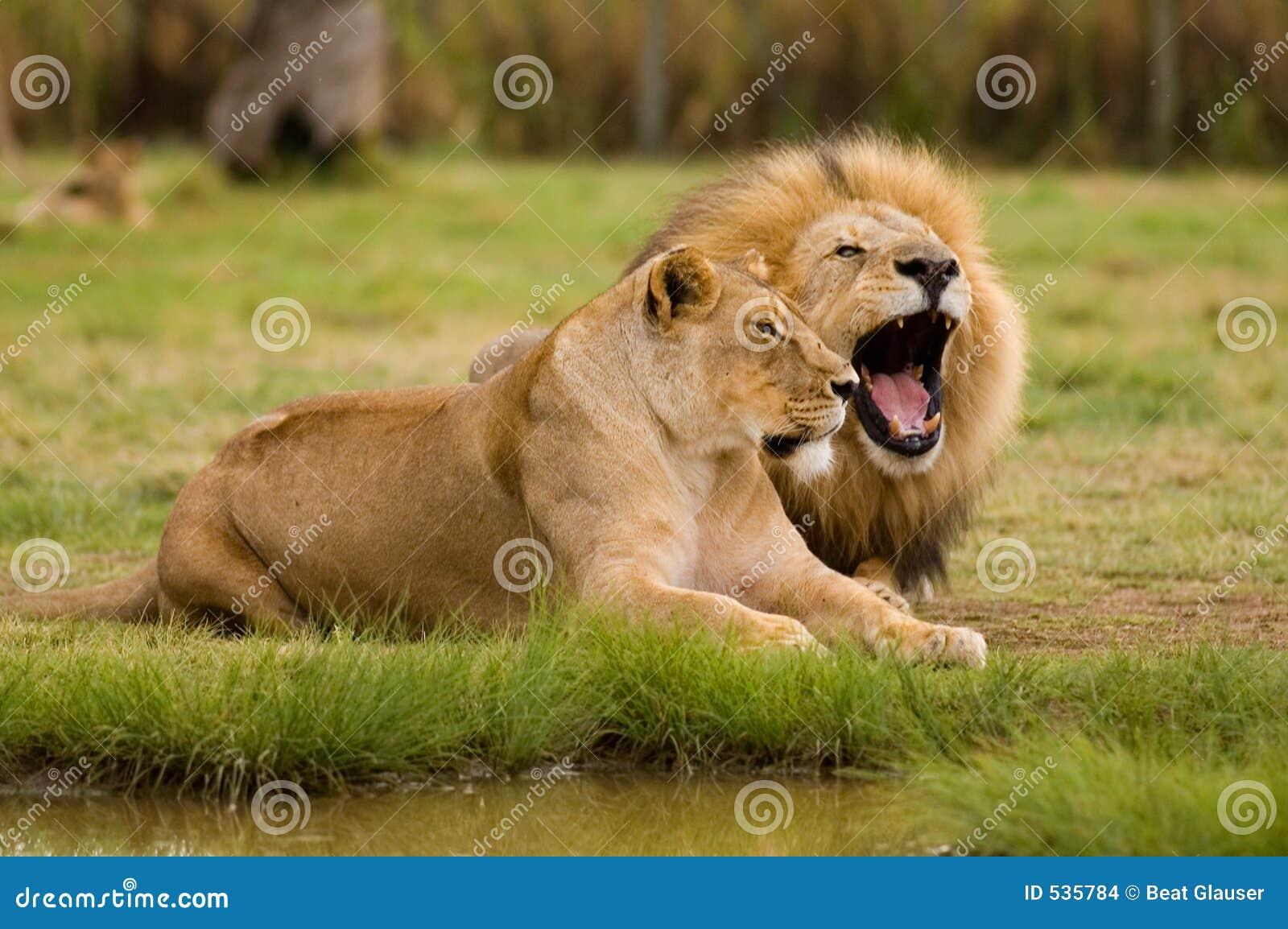 Leoa e leão