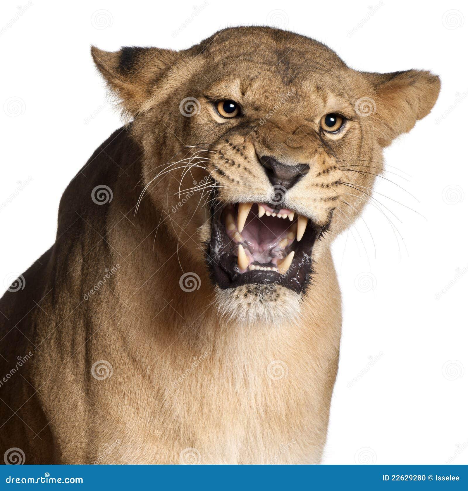 Leona, Panthera leo, 3 años, gruniendo