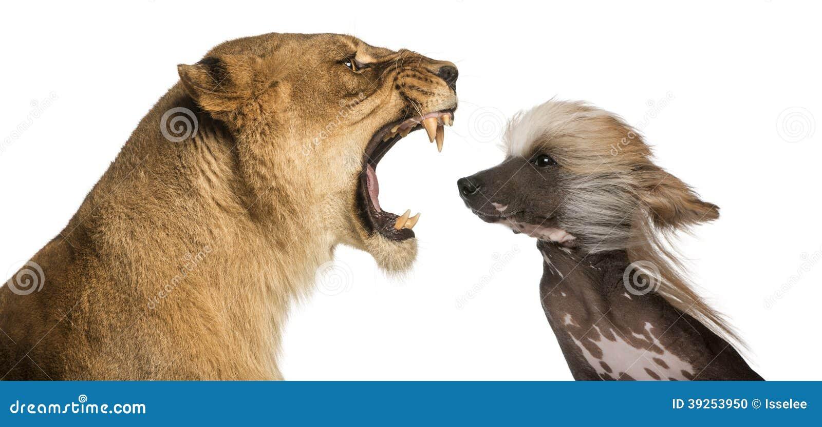 Leona que ruge en la cara de un perro con cresta chino