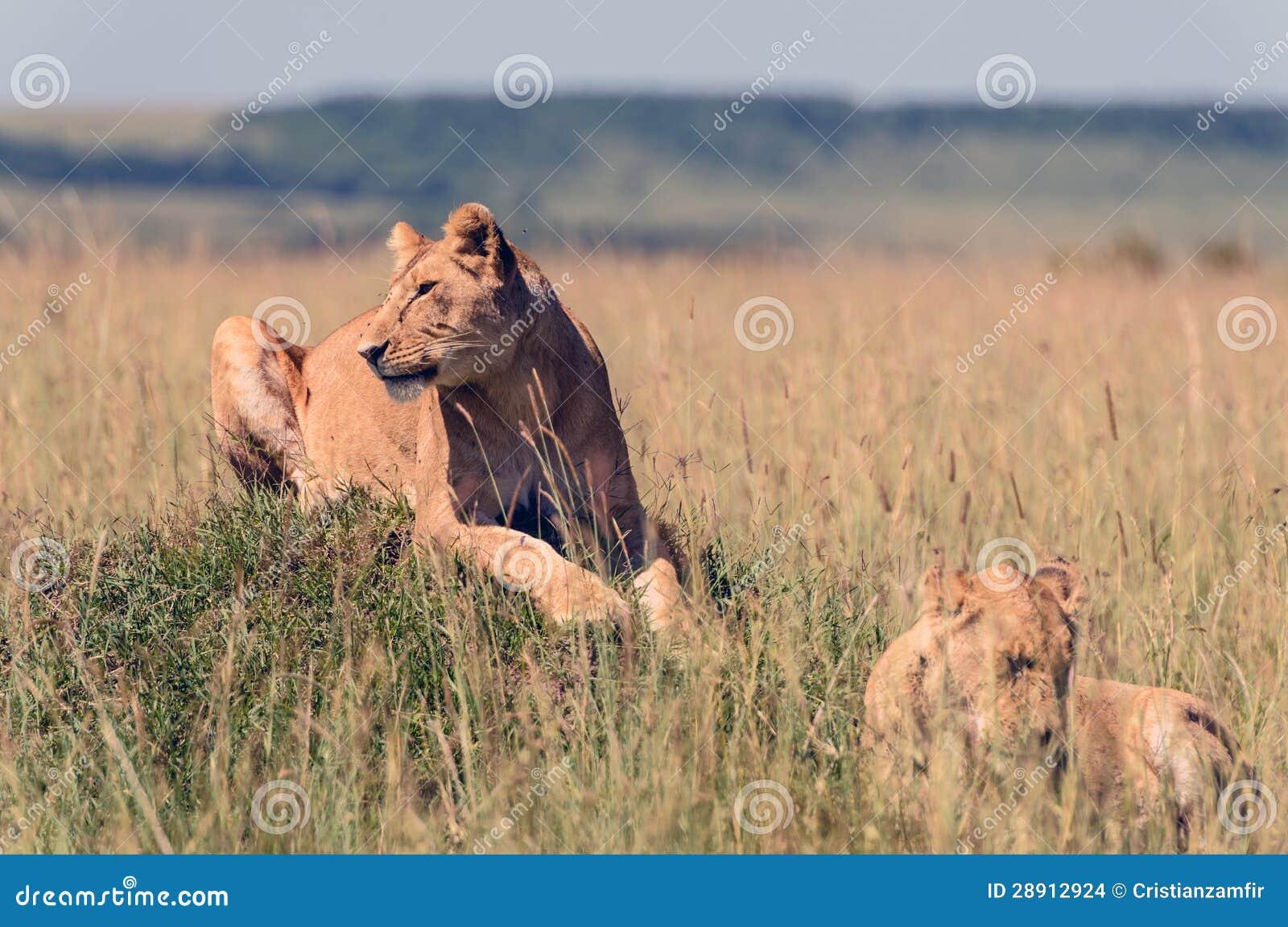 Leonas en la sabana africana