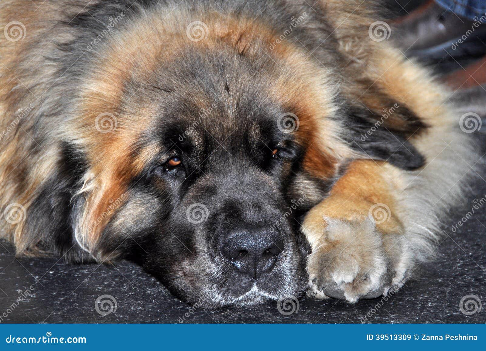 Leonberg dog