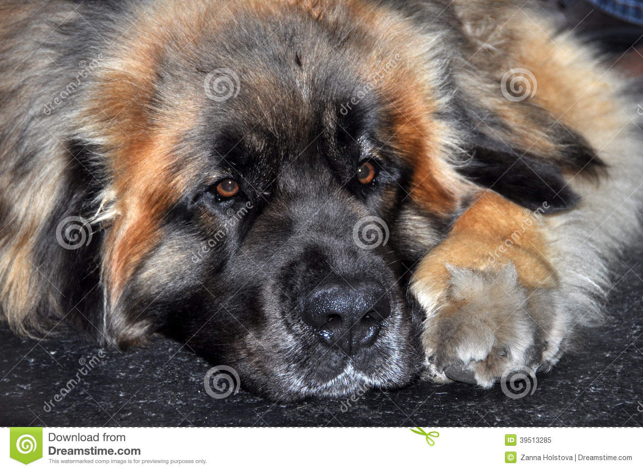 Leonberg Sleeping dog