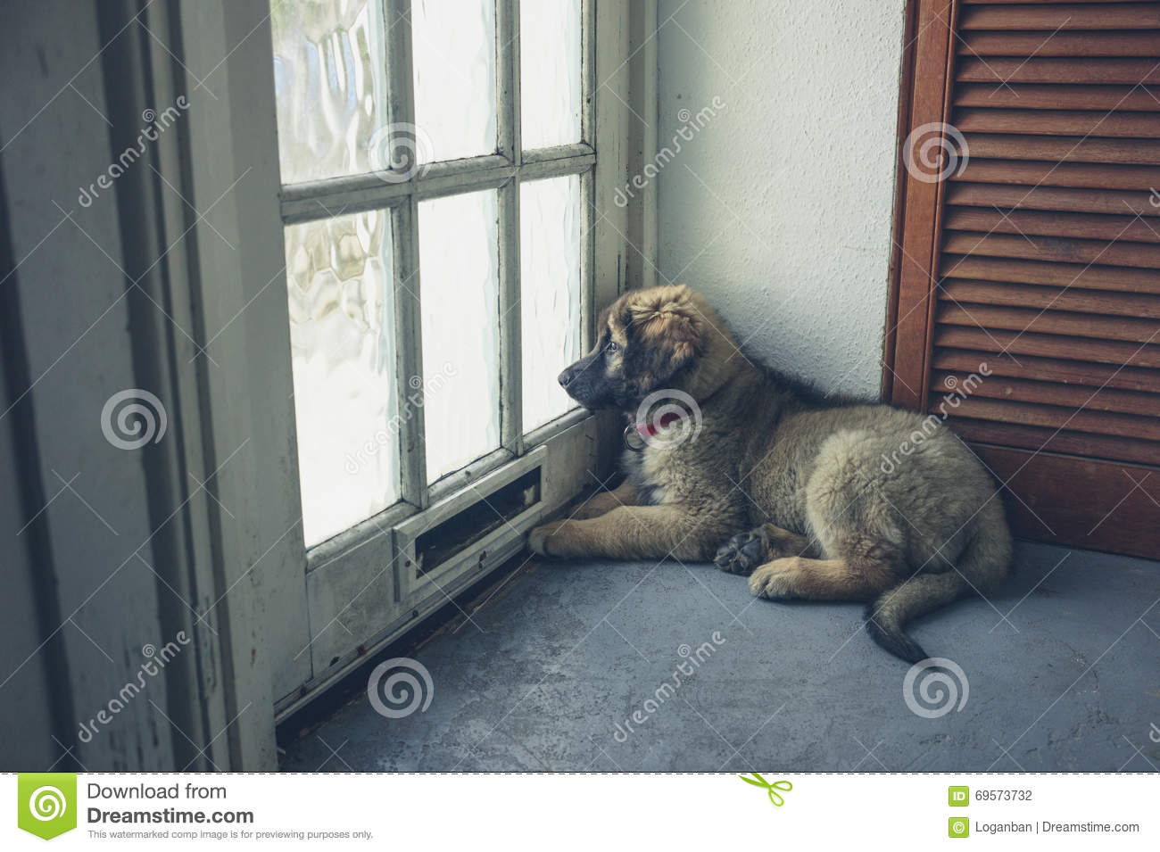 Royalty-Free Stock Photo & Leonberger Puppy Waiting By The Door Stock Photo - Image of furry ...