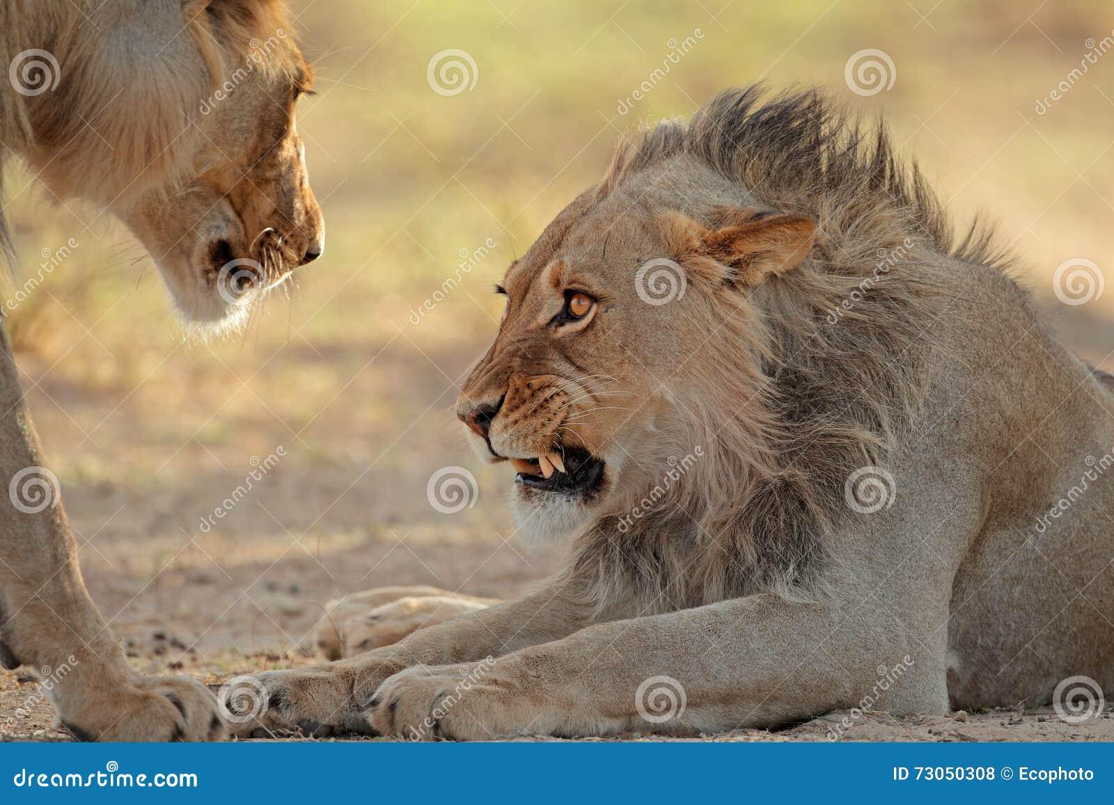 Leone africano aggressivo