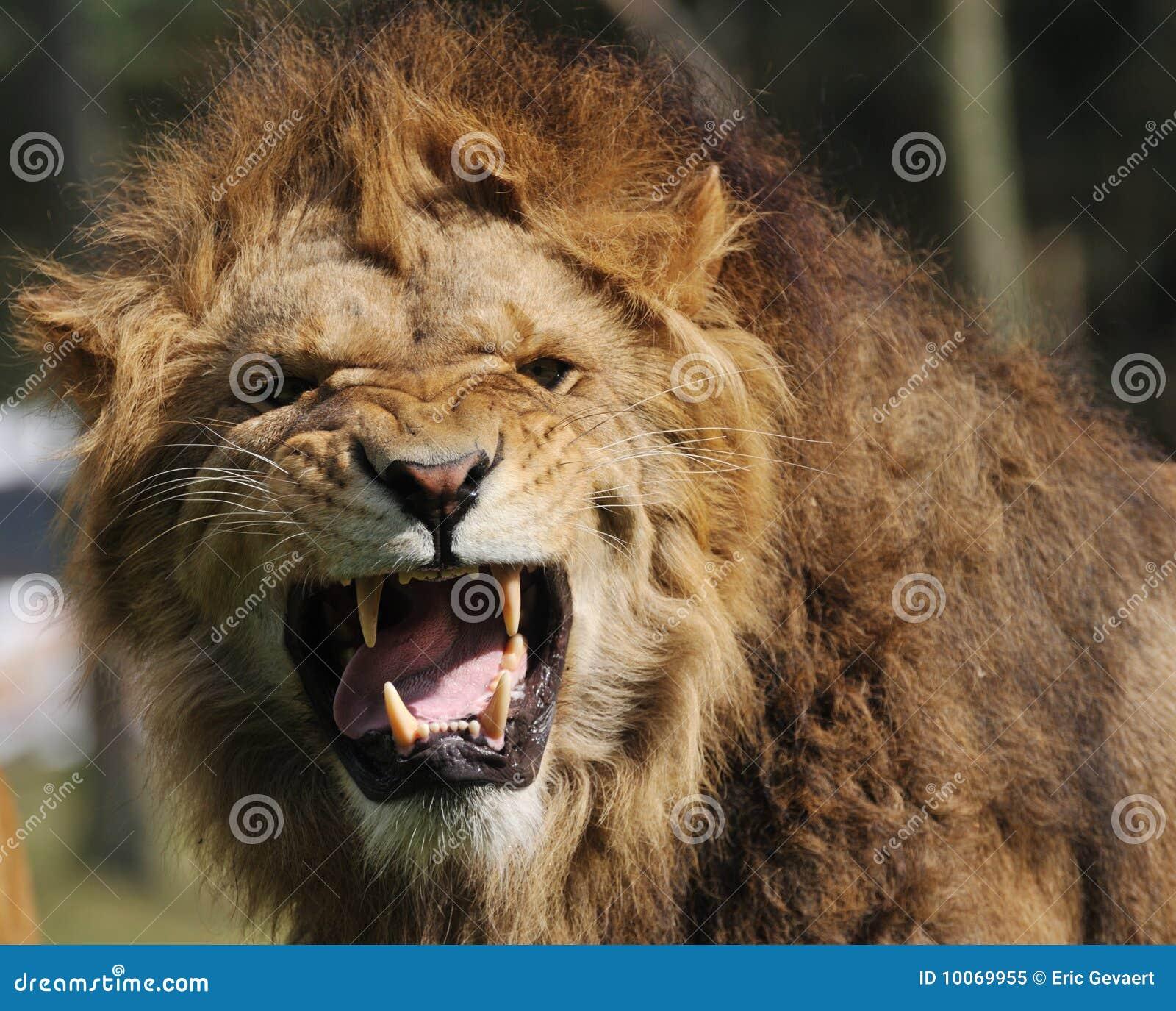Leone arrabbiato fotografia stock libera da diritti for Immagini leone hd