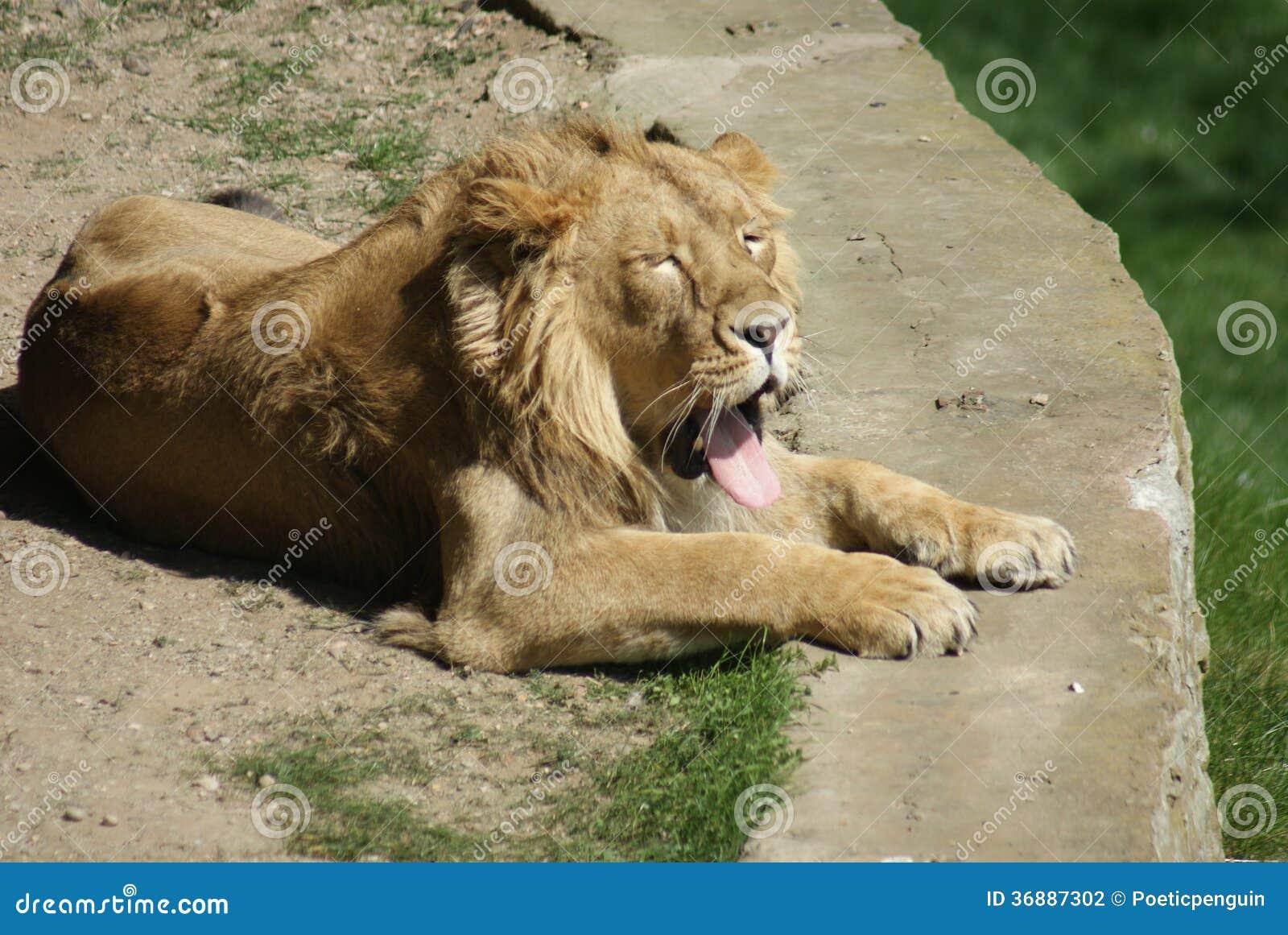 Download Leone Asiatico - Persica Di Leo Della Panthera Fotografia Stock - Immagine di chordata, fauna: 36887302