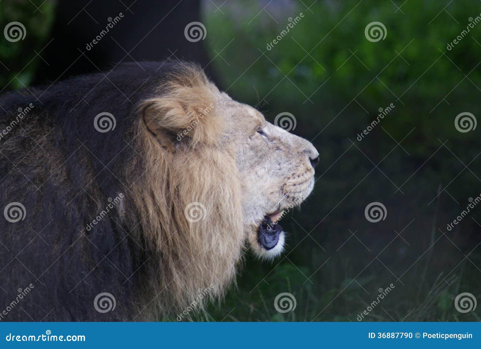 Download Leone Asiatico - Persica Di Leo Della Panthera Fotografia Stock - Immagine di brown, felino: 36887790