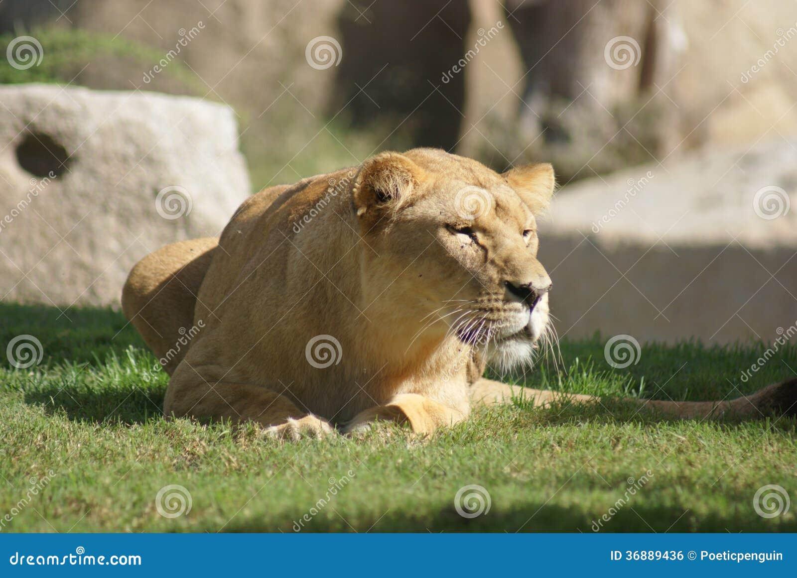 Download Leone Del Katanga - Bleyenbergh Di Leo Della Panthera Fotografia Stock - Immagine di femmina, wildlife: 36889436
