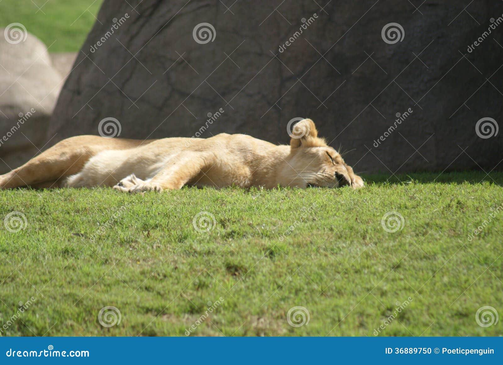 Download Leone Del Katanga - Bleyenbergh Di Leo Della Panthera Fotografia Stock - Immagine di vita, enorme: 36889750