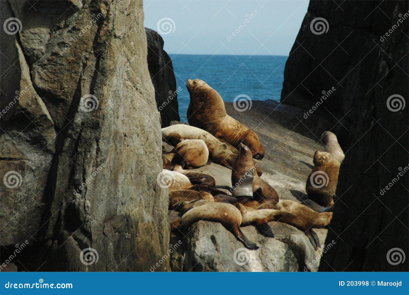 Leone di mare dello Steller 2
