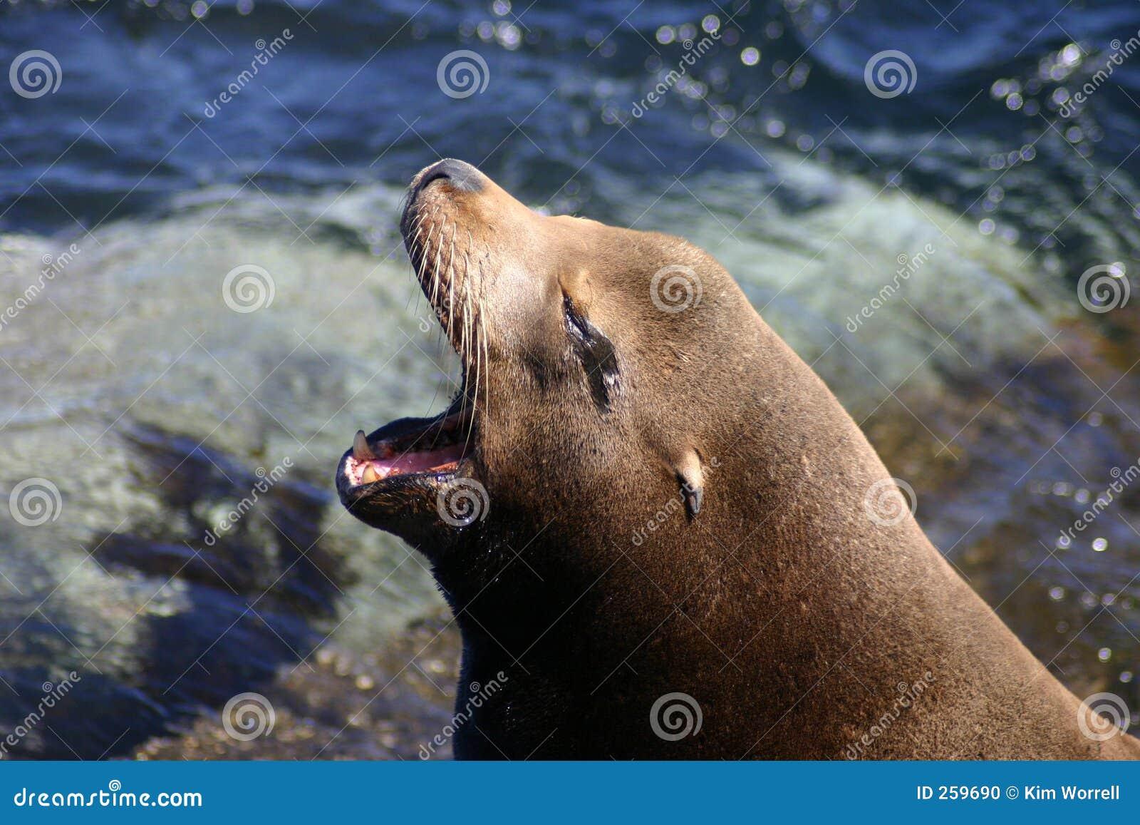 Leone di mare di sbadiglio della California