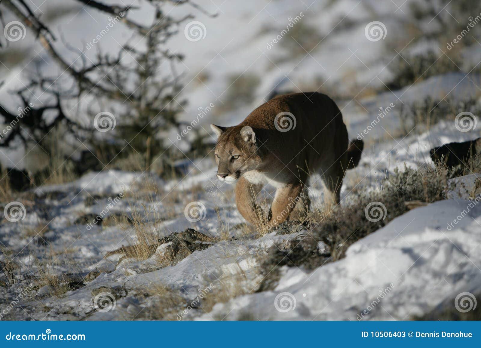Leone di montagna che cammina nel sagevrush