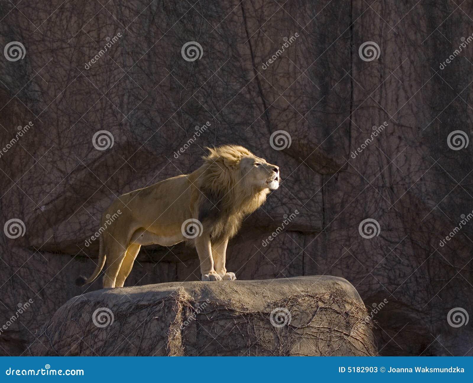 Leone di ringhio che si leva in piedi sulla roccia