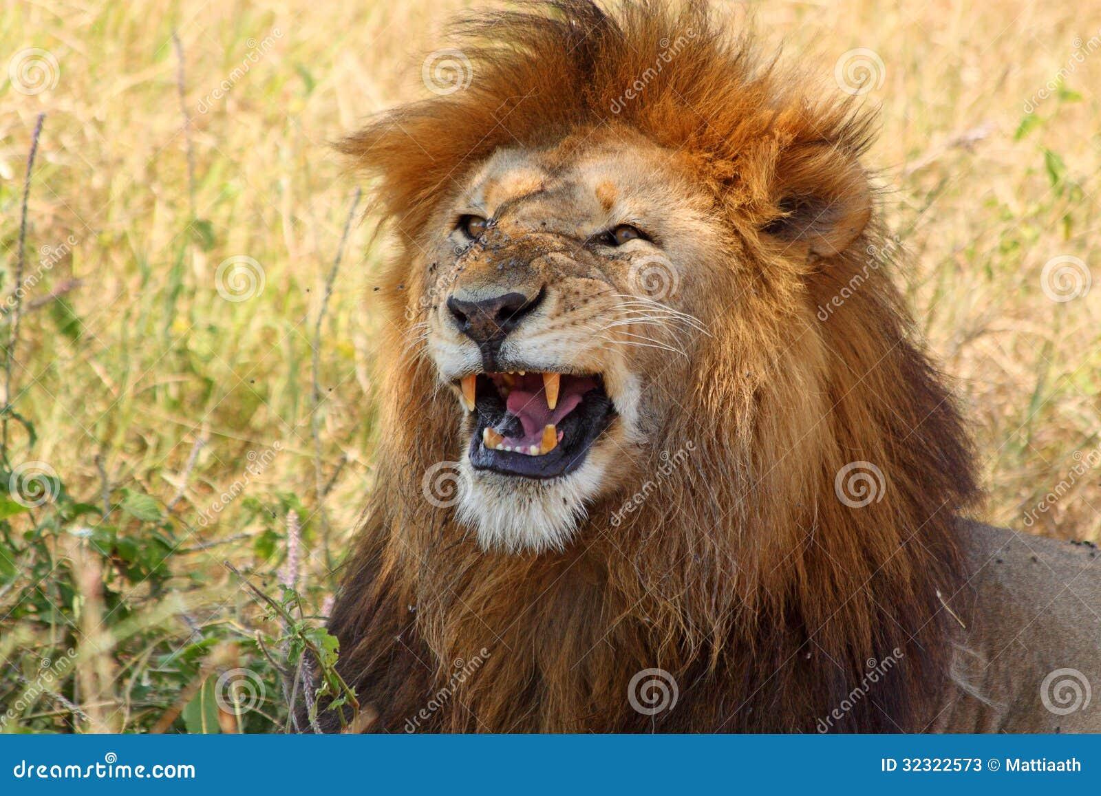 leone maschio che mostra i denti immagine stock immagine