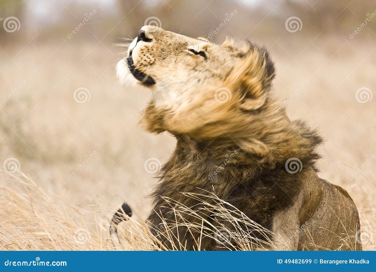 Leone maschio selvaggio che si scuote, parco nazionale di Kruger, Sudafrica