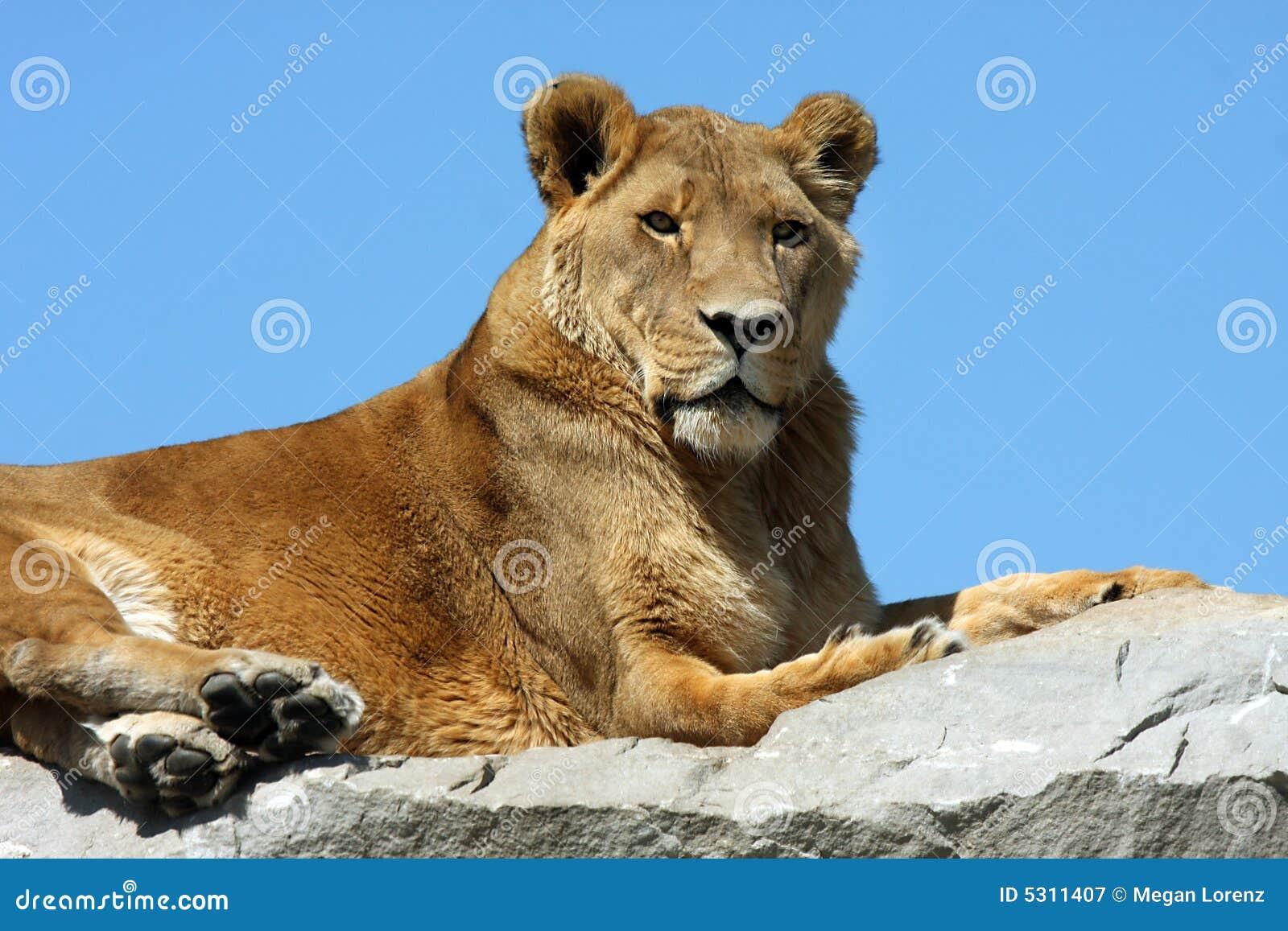 Download Leone nel cielo immagine stock. Immagine di africano, porre - 5311407