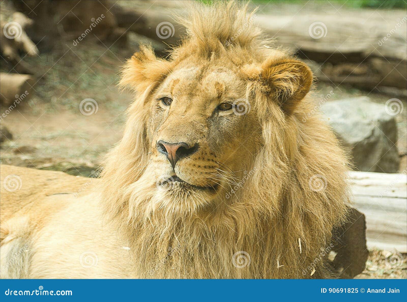 Leone sonnolento maschio nel parco di safari
