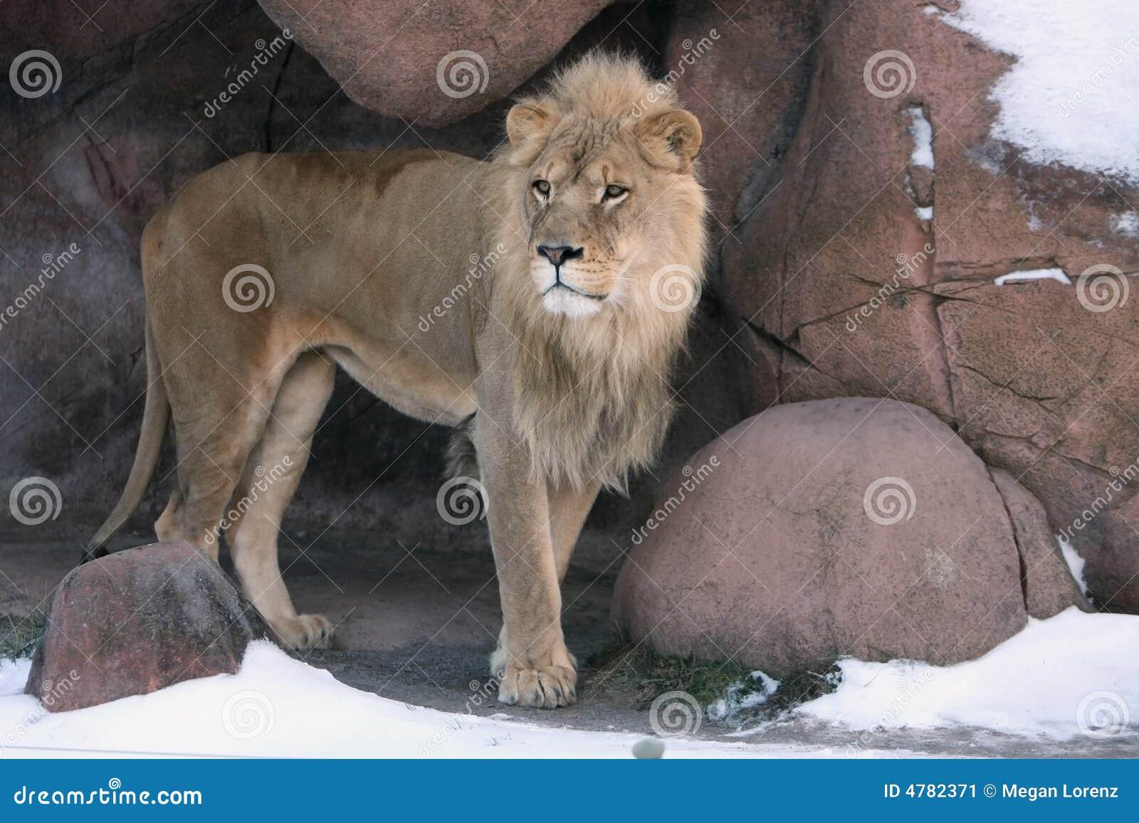 Leone in tana