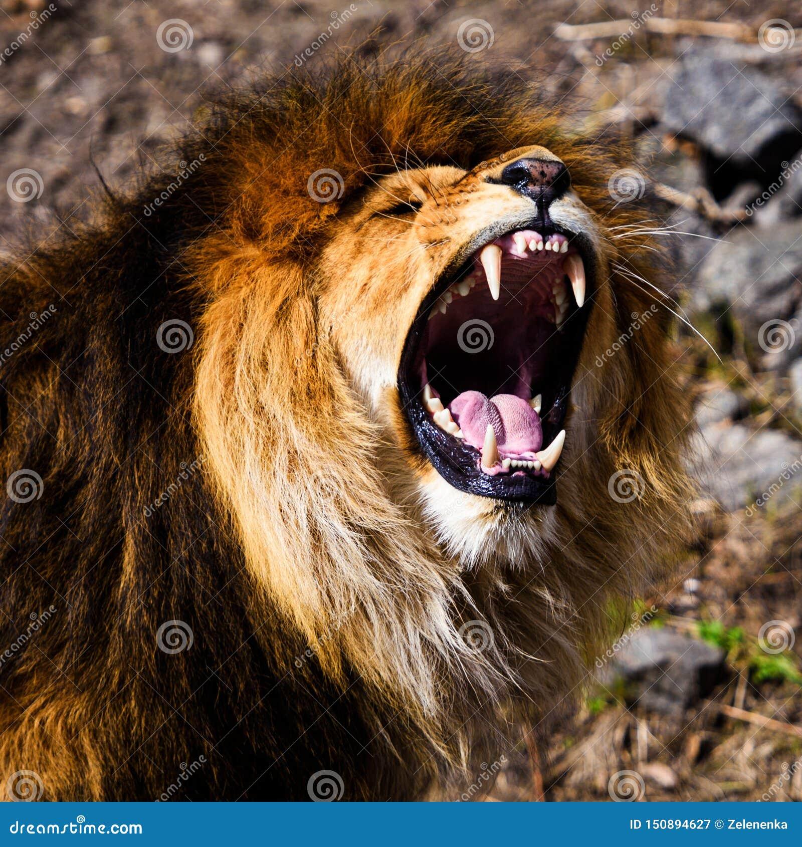 Leone vigoroso arrabbiato