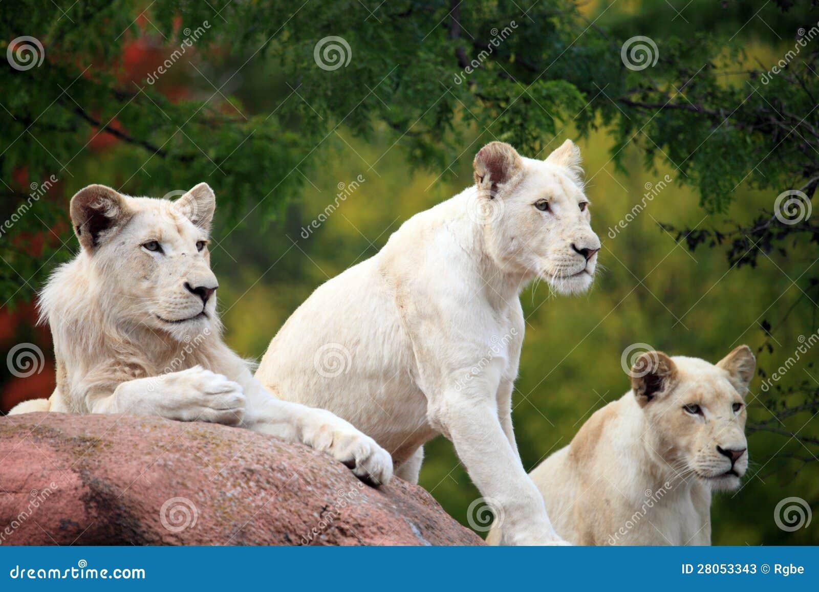 Foto de los leones blancos al viajar en el parque zoológico.