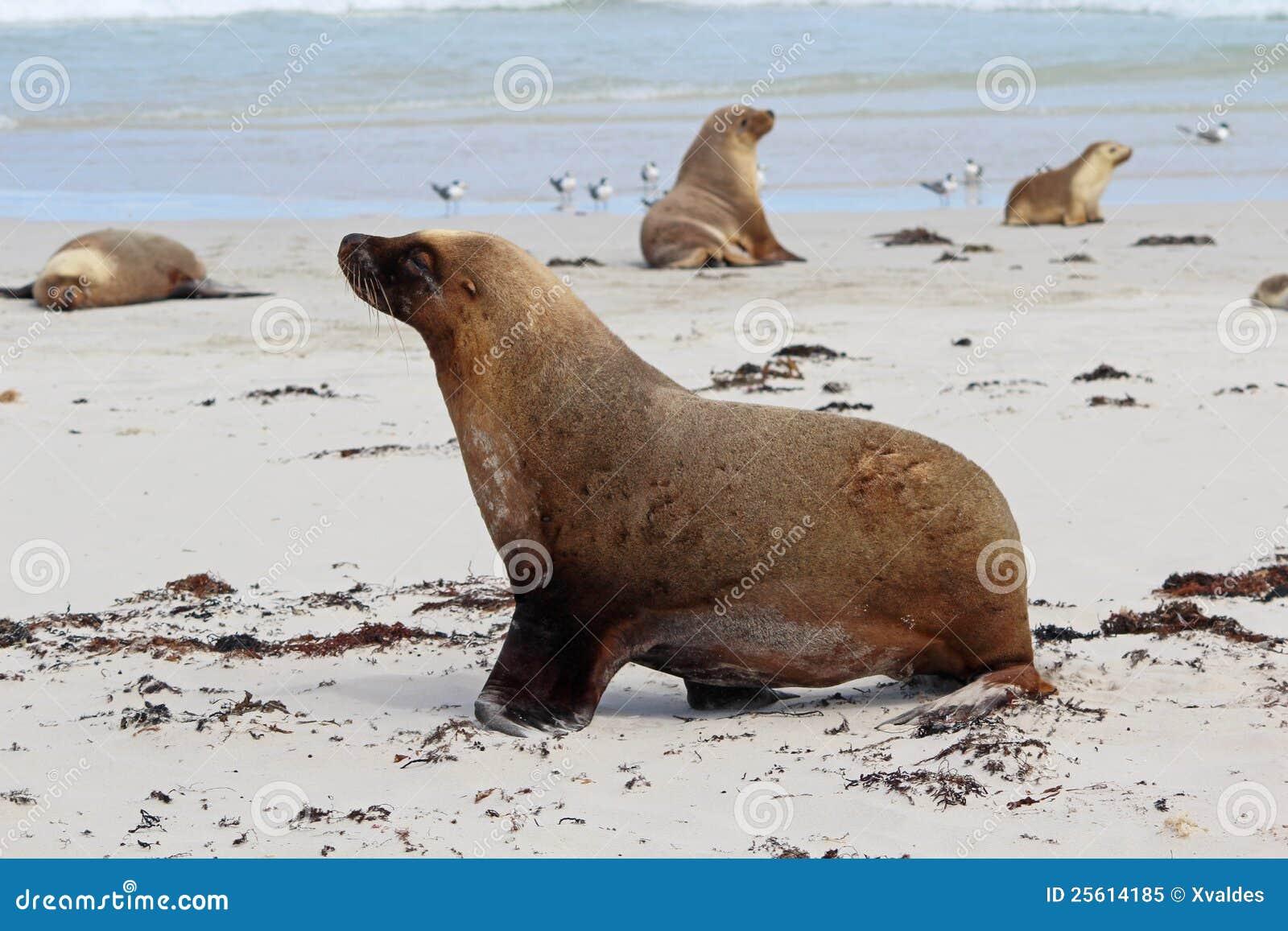 Leones de mar