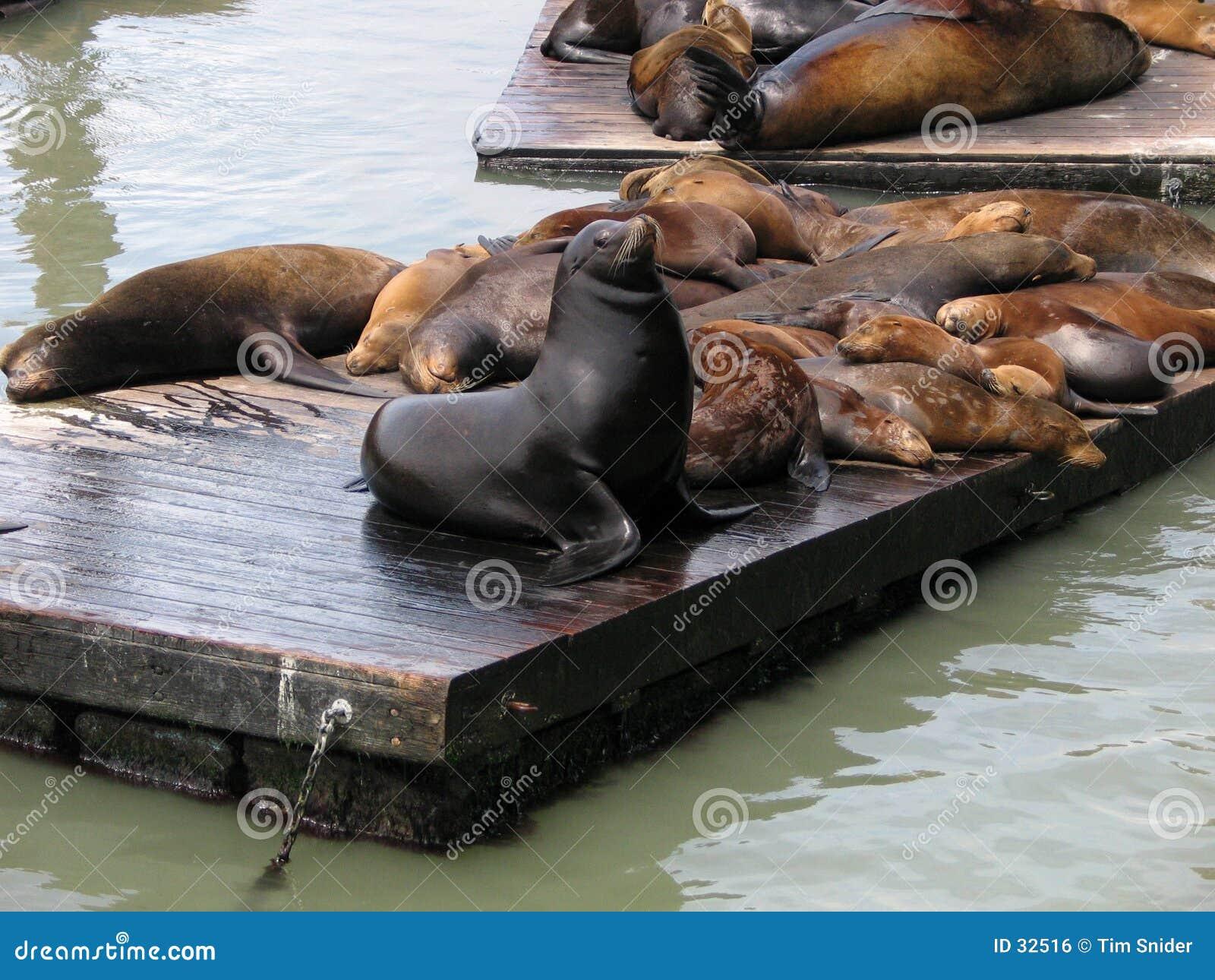 Download Leones de mar foto de archivo. Imagen de océano, california - 32516