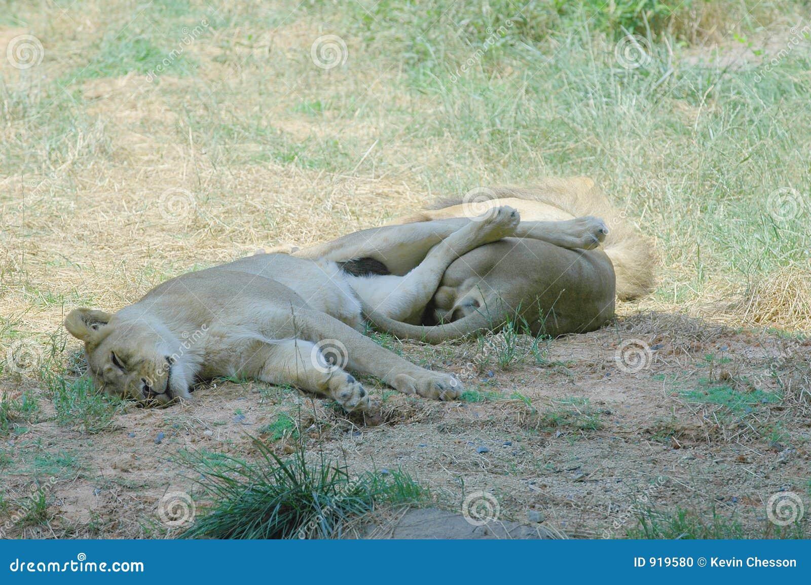 Leones el dormir