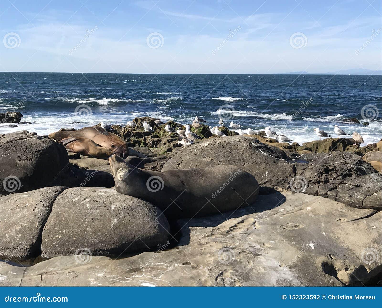 Leones marinos que duermen en una orilla rocosa